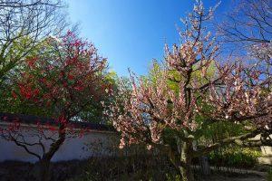 好古園の梅花展