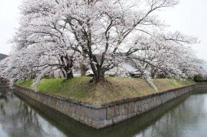 龍岡城と桜